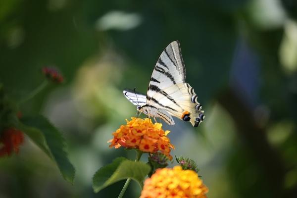 Swallowtail by Jw3