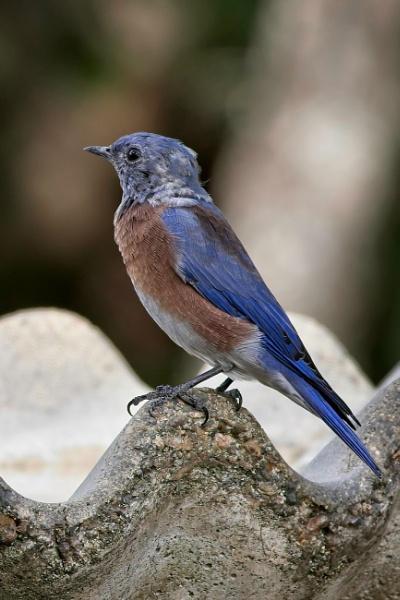 Western Bluebird by DPW