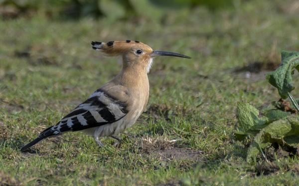 Hoopoe  bird by gerti62
