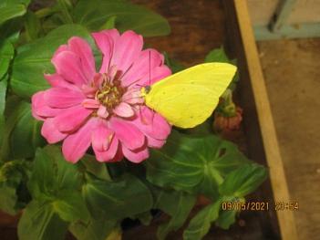 A beautifull yellow butterfly