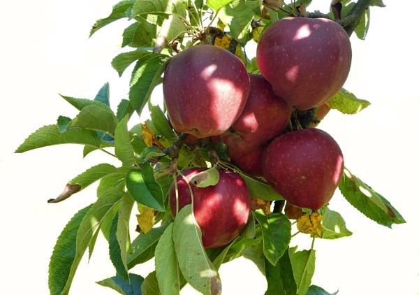 bio apples by elousteve