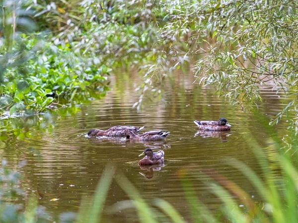 Ducks & Duckings by Selby