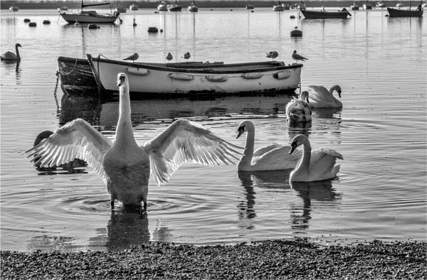 Mute Swan by blrphotos
