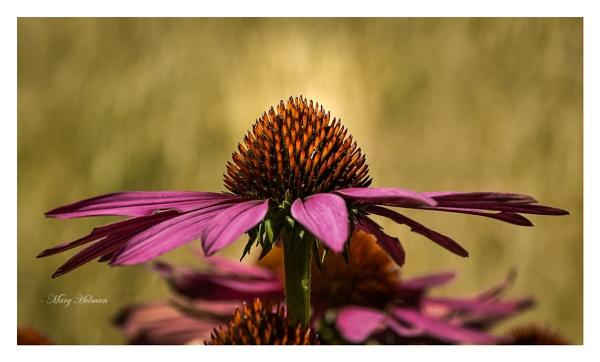 Macro flower shot by margymoo