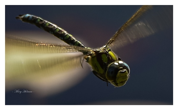 Dragonfly by margymoo