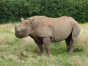 Rhino at Howletts