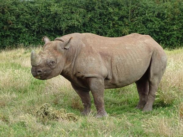 Rhino at Howletts by Leon88
