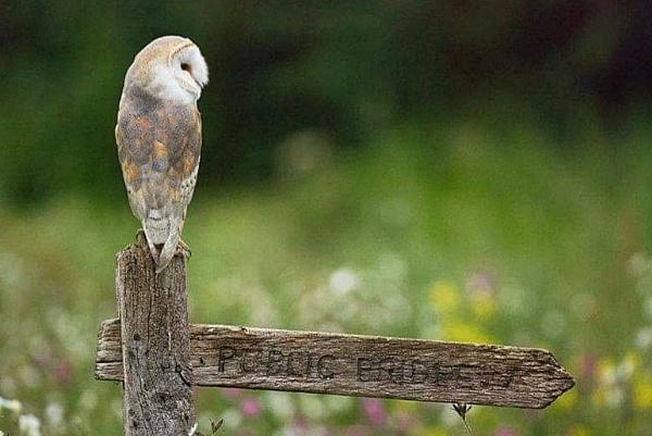 Barn Owl by phil_j