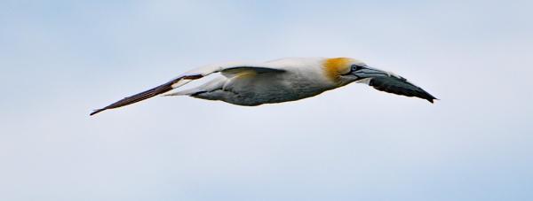 Cruising Gannet. by terra