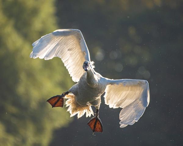 Sidewinder Swan by chensuriashi