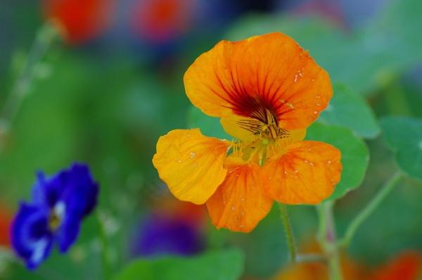 Orange Flower by Kako