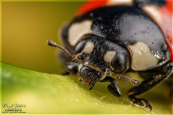 Ladybird male   (???) by Paul_Iddon