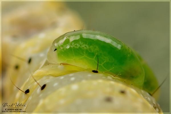 Eulophus Wasp Parasitoids by Paul_Iddon