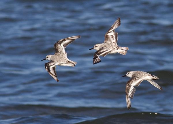 Sanderlings in flight by oldgreyheron