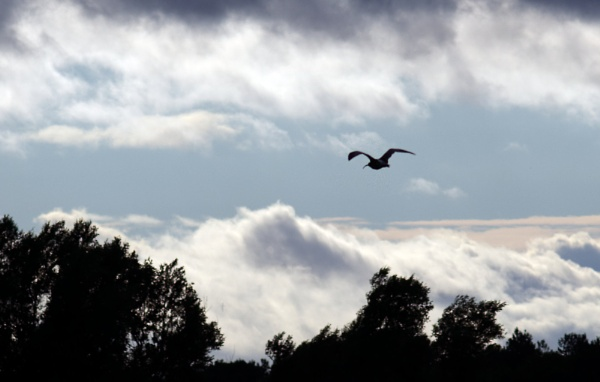 Curlew by oldgreyheron