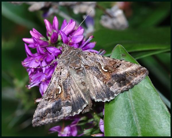 A Silver Y Moth 02 :-- by Badgerfred