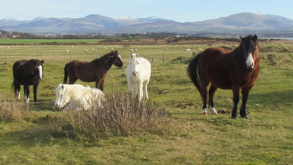 Ponies on Anglesey by mikejmb