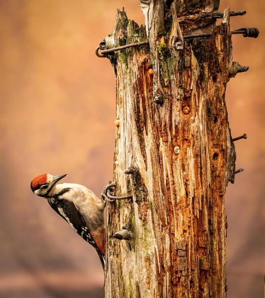 UntitledGreat Spotted Woodpecker by KdyTeejay