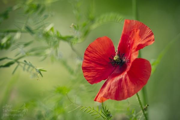 The poppy by Angi_Wallace