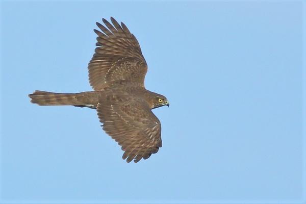 Juvenile Sparrowhawk by TerryMcK