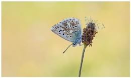 Chalk-hill Blue - Polyommatus coridon.