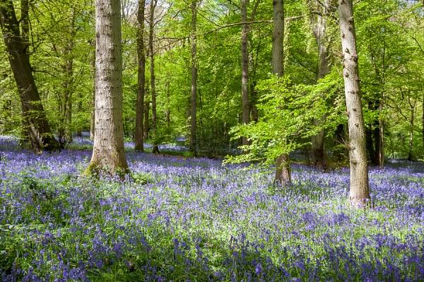 Bluebells in Staffhurst Woods near Oxted Surrey by Phil_Bird