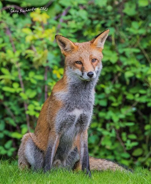 fox in the garden by djgaryrichardson