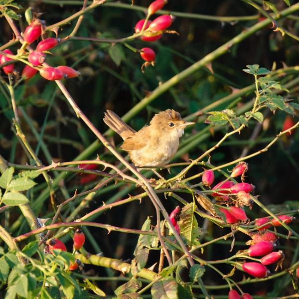 Reed warbler by iNKFIEND