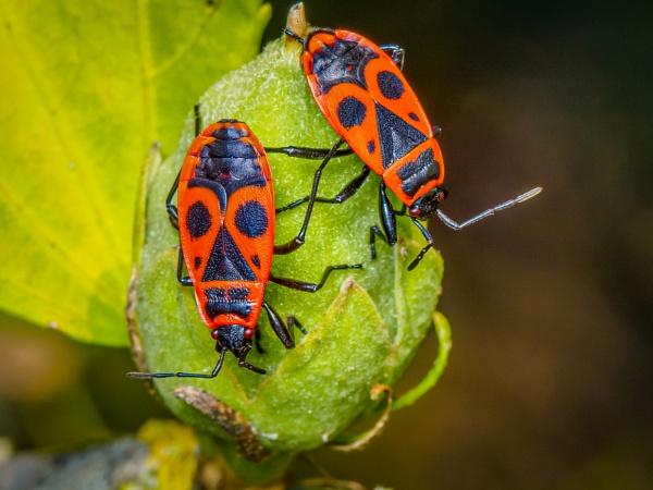 European firebugs by chavender