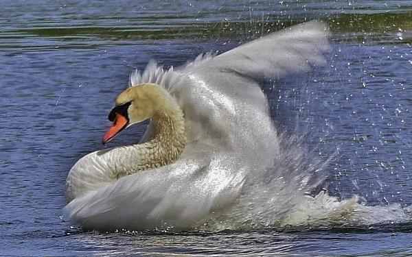 Swan in motion by georgiepoolie