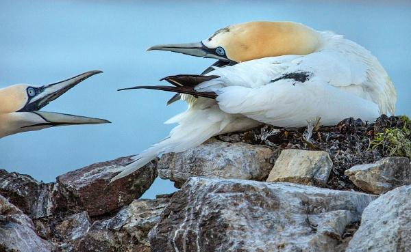 Gannet defending nest by AnnJ