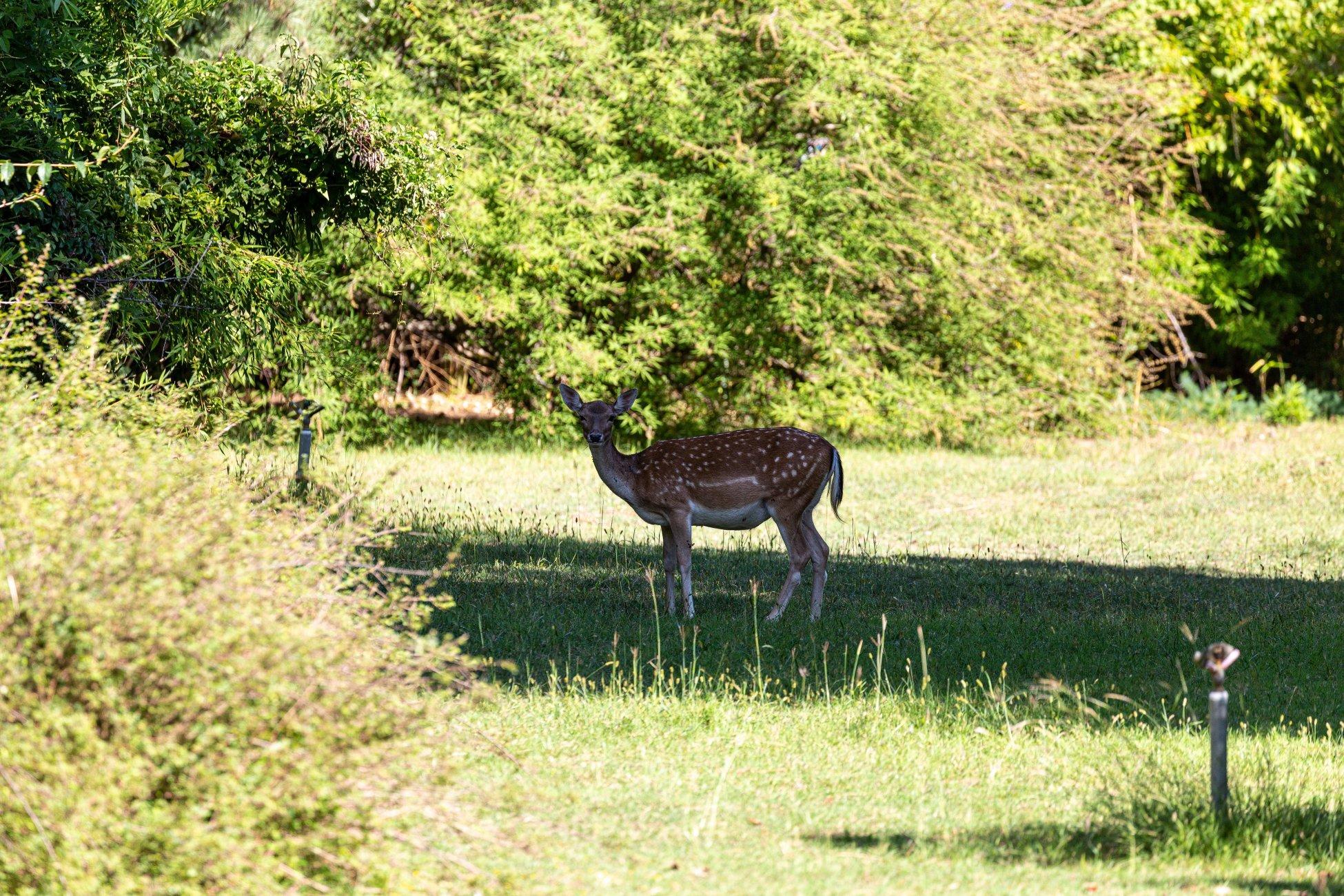 European fallow deer on a field in the forest