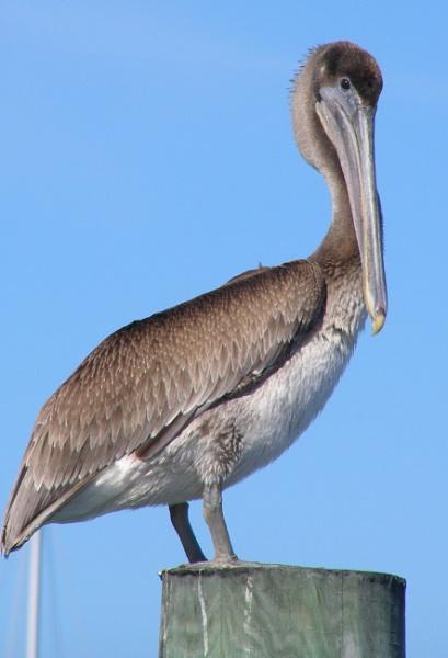 A peculiar bird is the Pelican by Nigeltraveller