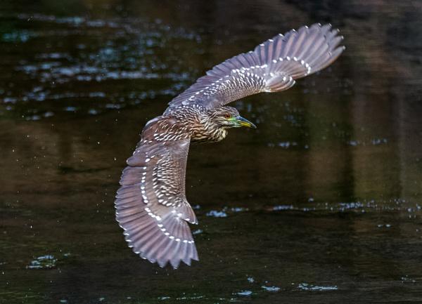 Juvenile Black-crowned Night-Heron by TDP43