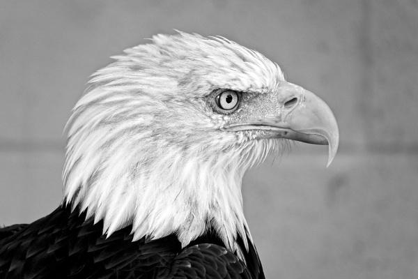 Side profile of Bald Eagle. by Debmercury