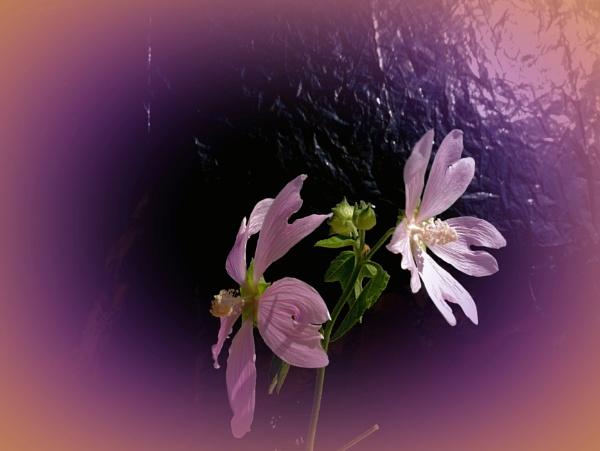 pink melody by elousteve
