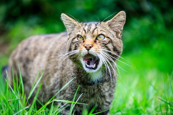 Wild Cat by Kev8990