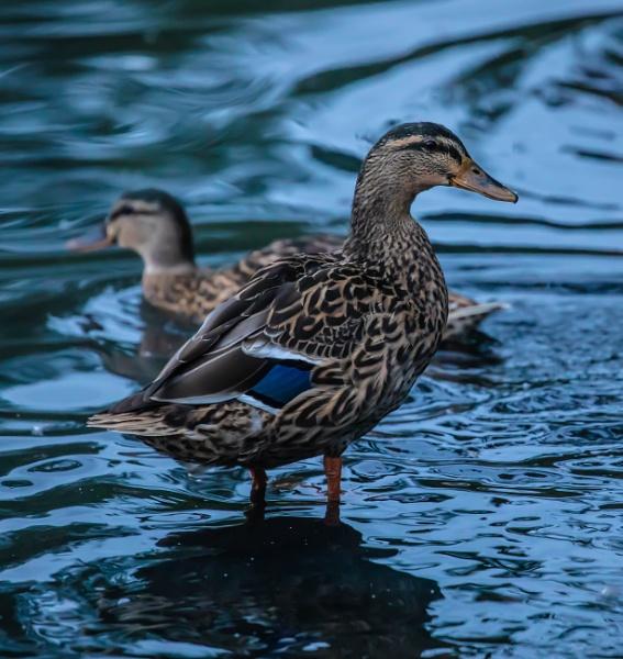 ducks by SCUBAMAN