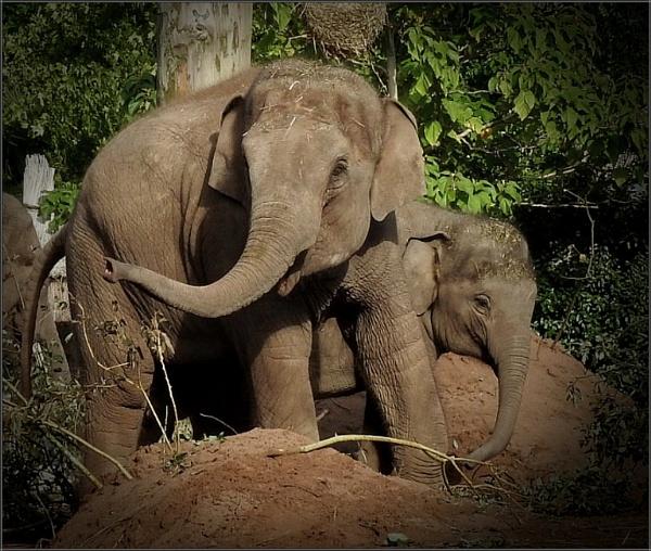 Elephants (2) by PhilT2