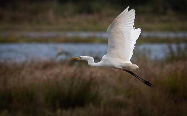 Great White Egret by jasonrwl