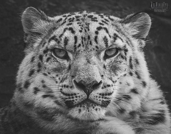 Snow Leopard by MartinWait