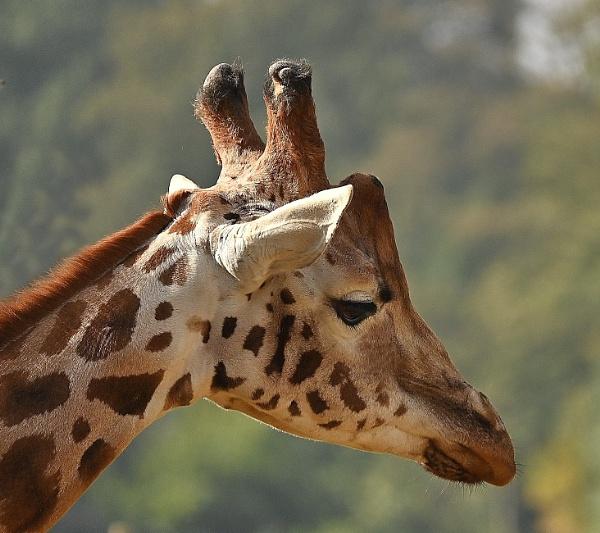 Giraffe by nealie