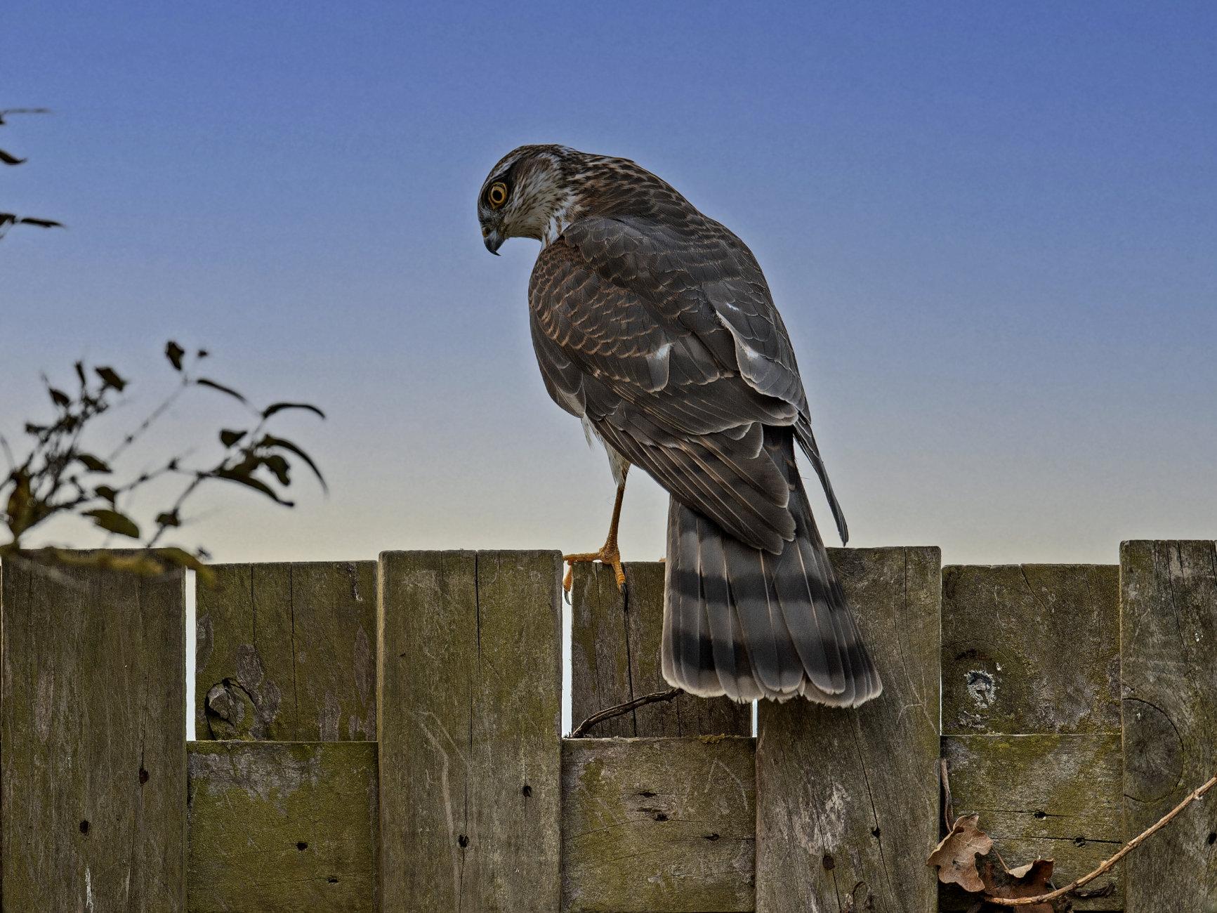 Sparrow Hawk.1