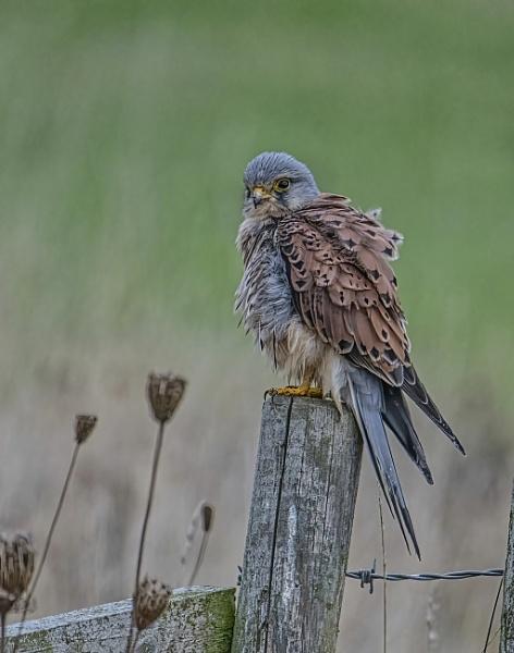 Male kestrel by yorkshirepete