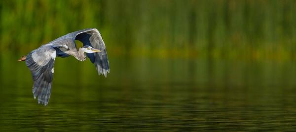 Heron captured in the Golden Hour by FOXTROTT1