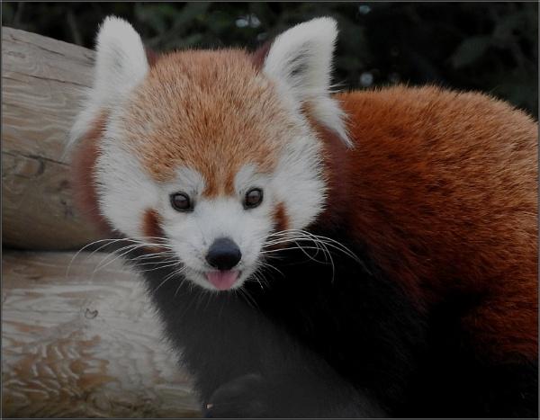 Red Panda by PhilT2