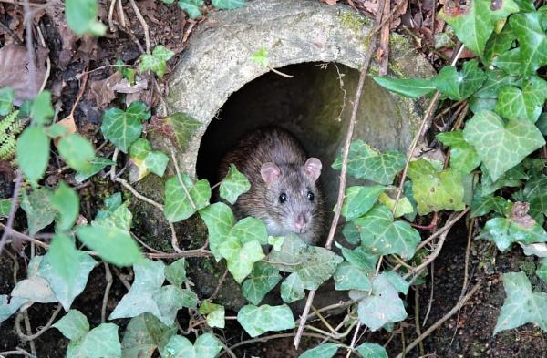 Cute Rat by JanOByrne