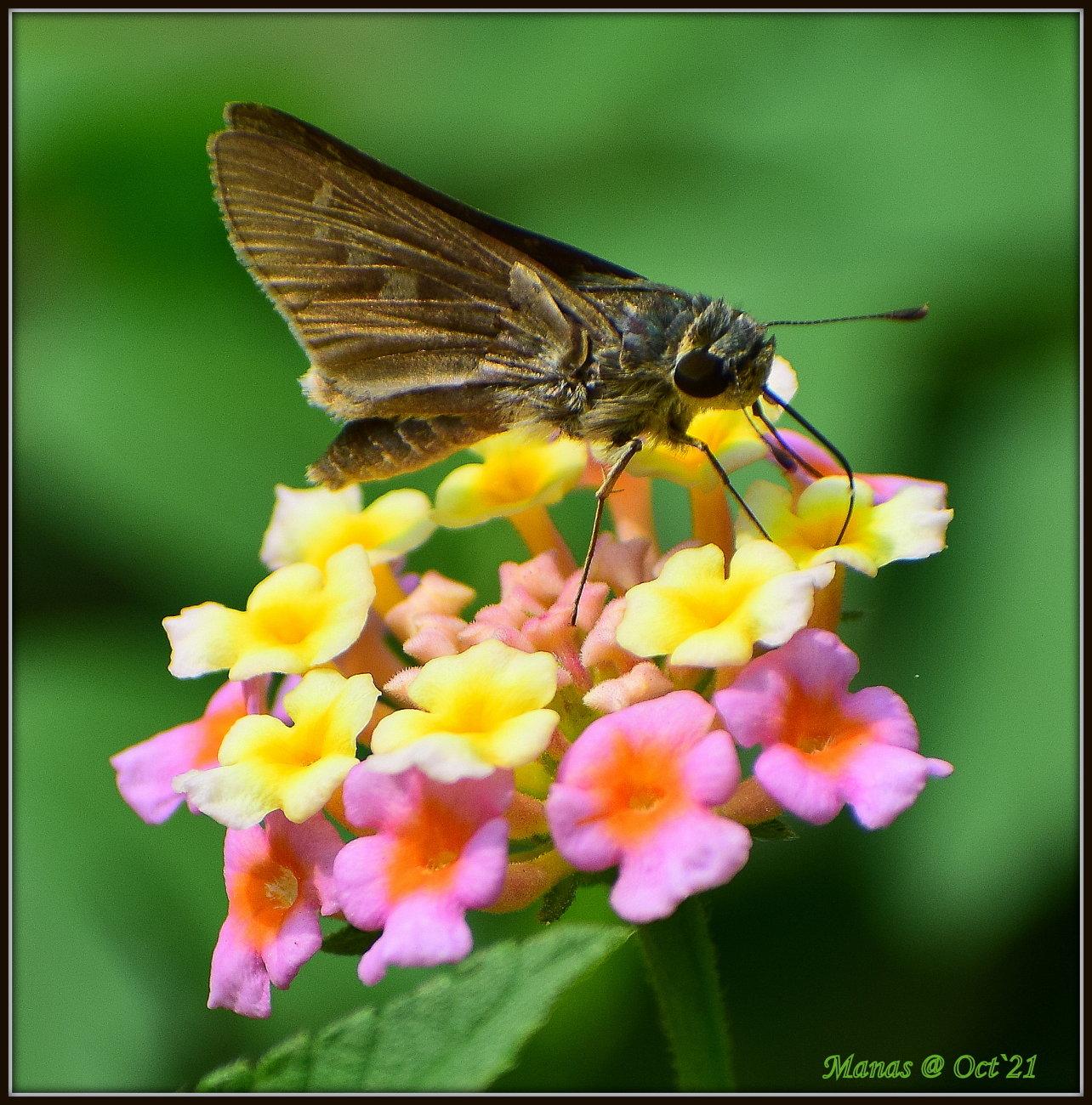 Butterfly cherishing nectar