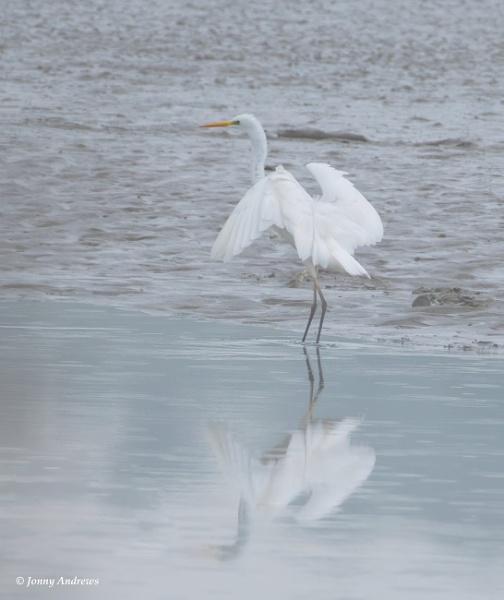 Great White Egret by JonnyNI