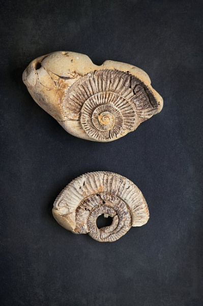 Ammonite Fossil by YorkeHouse